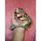 Ball-python-for-sale