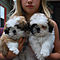 Akc-emperial-shih-tzu-pups-ready-now-475