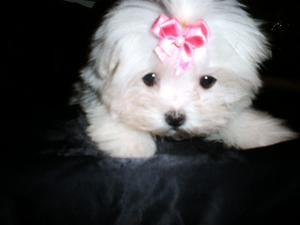 Teacup-maltese-puppy-minnie